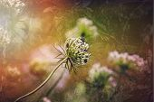 Artistic presentation of a Queen Ann's Lace flower in the garden with a vintage texture overlay