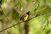 stock photo of bulbul  - beautiful black - JPG