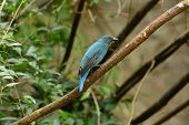 stock photo of bluebird  - beautiful female Asian Fairy Bluebird  - JPG