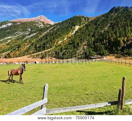 Sunny day in the Austrian Alps. On the green lawn in the valley grazing groomed horse farm