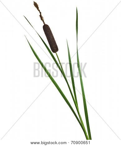 Reed cattail plant Isolated on white background