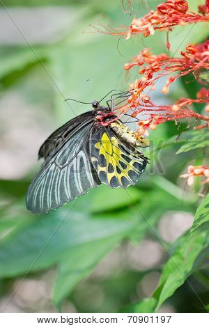 Golden Birdwing Butterfly.