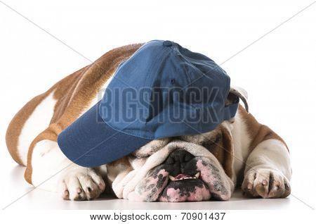 dog wearing baseball cap isolated on white background - english bulldog