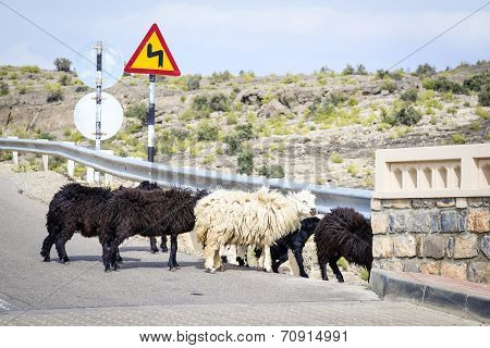 Sheeps Oman