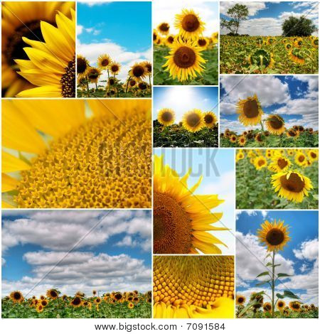 Sunflowers Collage