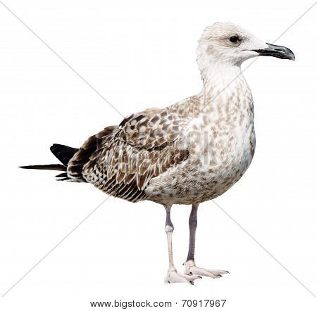 Grey Seagull isolated on white background