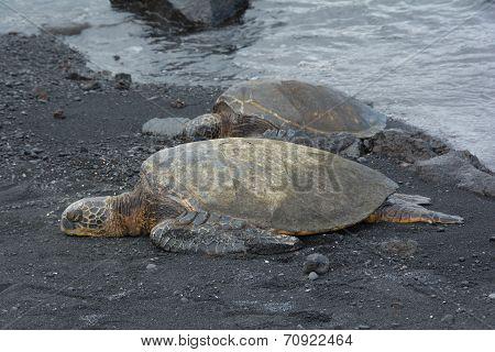 Sea turtles on the Black Sand Beach, Hawaii