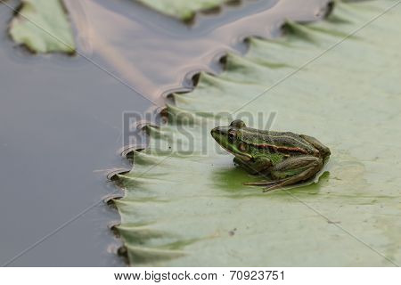 Green Pond Frog and Water Lily leaf