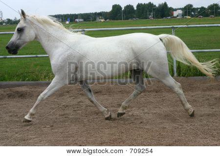 Arabisches Pferd Trab
