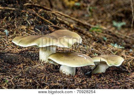 Tricholoma Saponaceum