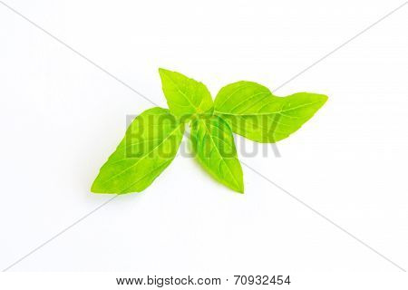 Basil Leaf Isolated