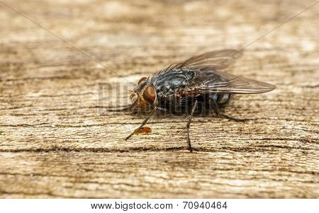 A macro photo of a Blue-bottle Blow fly