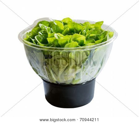 Salanova Lettuce In Growing Mix In Plastic
