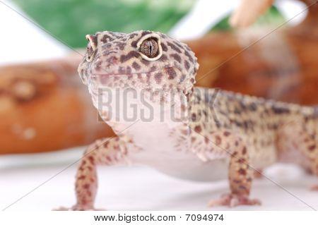 Young Leopard Gecko, Eublepharis. Tropical Lizard