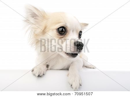 Cute chihuahua dog with parted lips portrait close-up