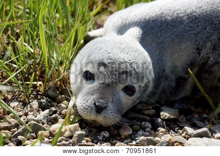 Baby Fur Seal Resting With Open Eyes On Grass