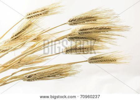 Barley on pale gray