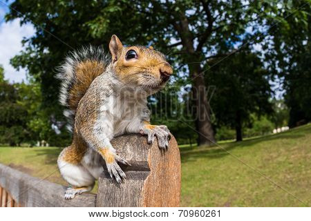 Grey Squirrel on a park bench in London