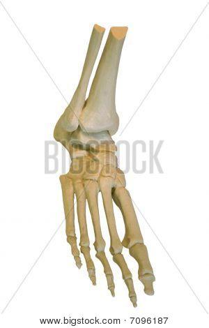 model foot
