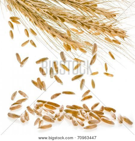 Spikelet and Young Grains of Wheat ears close up isolated on a White Background