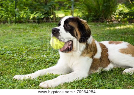 St. Bernard With Ball