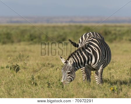 Plain Zebra