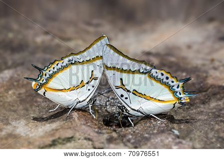 Great Nawab Butterflies