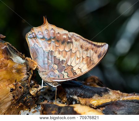 The Scarce Rajah Butterfly Sucking Food