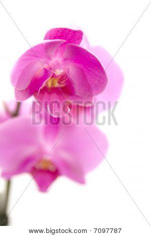 Orchid auf weißem Hintergrund