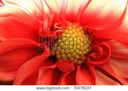 Macro image of Dahlia flower