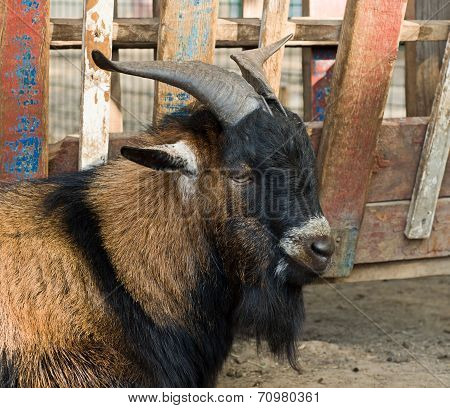 The Portrait Of Big Goat