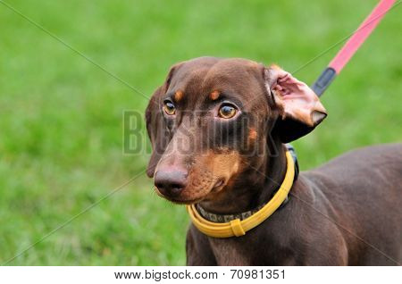 Standard smooth dachshund, color brown, male.Dachshund - hunting breed dogs.