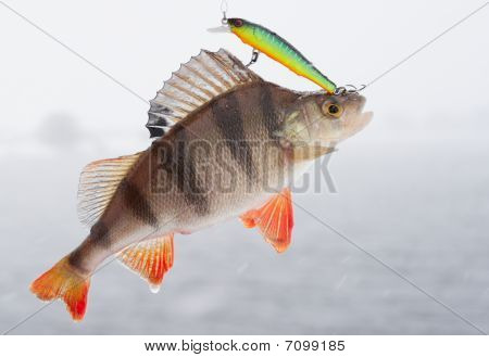 Perch Hanging On Hooks