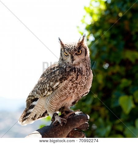 owl on falconry