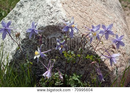 Clump of Rocky Mountain blue columbine