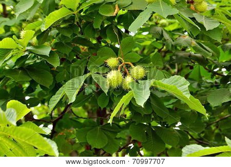 Chestnuts On Tree Branch