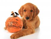 foto of happy halloween  - Cute Halloween puppy with a pumpkin - JPG