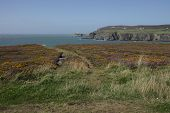 foto of anglesey  - A view from a track through heather across a bay to south stack lighthouse in the distance Wales coast path Anglesey Wales uk.
