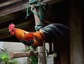 image of bantams  - Beautiful bantam stand on old wood  outdoor - JPG