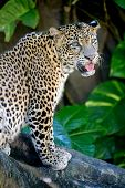 image of snow-leopard  - A close up shot of an African Leopard - JPG