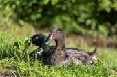 foto of male mallard  - Male and female of mallard ducks sitting in the grass