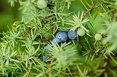 foto of juniper-tree  - Juniper blue berries on the tree - JPG