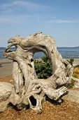 stock photo of driftwood  - An artistic piece of driftwood on the Alki trail in West Seattle - JPG