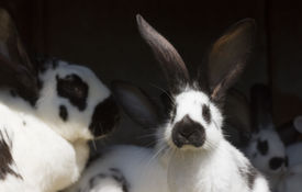 stock photo of husbandry  - group family farm rabbits in cage husbandry animal background [[** Note: Shallow depth of field] ** Note: Soft Focus at 100%, best at smaller sizes - JPG