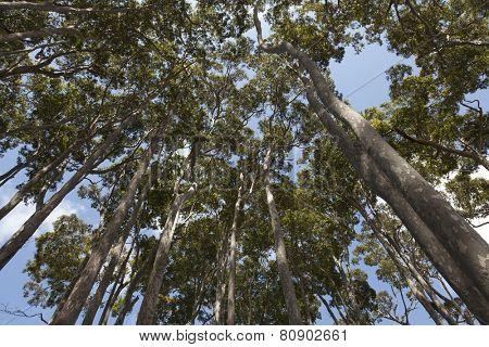 Eucalyptus trees in New South Wales Australia