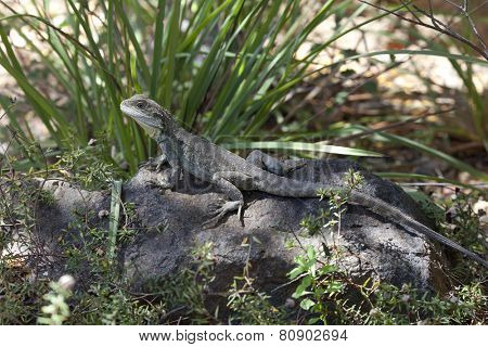 Eastern Water Dragon, Queensland, Australia