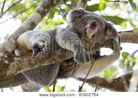 Koala relaxing in a tree, Queensland, Australia