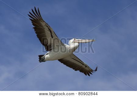 Flying pelican in the blue sky, victoria, Australia
