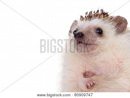 Close Up Hedgehog.