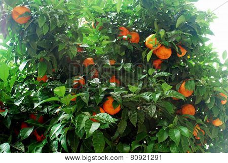Orange Tree With Ripe Fruits In Rome City